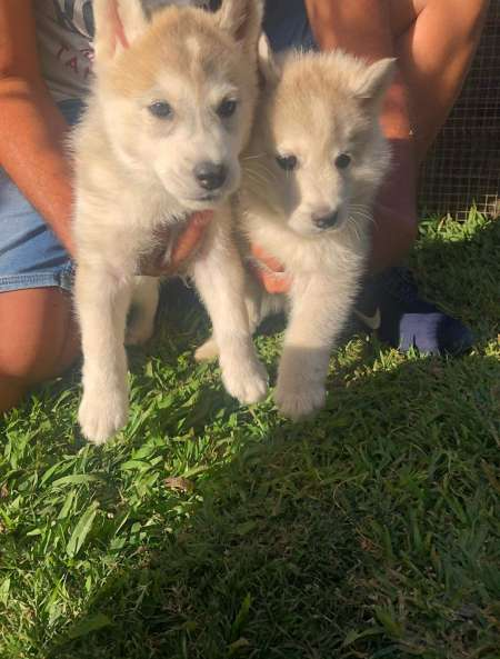 Photo ads/1570000/1570773/a1570773.jpg : Vend 2 chiots husky